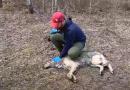 VIDEO/ I vendosin kamer ujkut, nuk do ta besoni çfarë zbuluan studiuesit